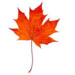 sugar-maple-leaf-vermont-maple